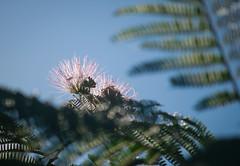 ALBIZIA (wasp7ty) Tags: albizia julibrissin tree flowers flower pink sky silk taxonomy:kingdom=plantae plantae taxonomy:superphylum=tracheophyta tracheophyta taxonomy:phylum=magnoliophyta magnoliophyta taxonomy:class=magnoliopsida magnoliopsida taxonomy:order=fabales fabales taxonomy:family=fabaceae fabaceae taxonomy:genus=albizia taxonomy:species=julibrissin taxonomy:binomial=albiziajulibrissin alberodellasetapersiano acaciadicostantinopoli persiansilktree ネムノキ mimosa albiziajulibrissin nemunoki acáciadeconstantinopla taxonomy:common=alberodellasetapersiano taxonomy:common=acaciadicostantinopoli taxonomy:common=mimosa taxonomy:common=persiansilktree taxonomy:common=ネムノキ taxonomy:common=silktree taxonomy:common=nemunoki taxonomy:common=acáciadeconstantinopla