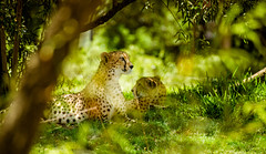 Cheetahs (Jérôme Castilloux) Tags: green texture animal nikon dof natural bokeh cheetah shallow vr d800 70300 isayx3 plainjoestudios plainjoephotoblogcom