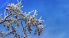 Winter powdered (explored) (RainerSchuetz) Tags: beginningofwinter winter hoar rime hoarfrost apple appletree