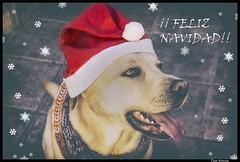 FELIZ NAVIDAD (Pepa Morente ( 1.800.000 de VISITAS )) Tags: feliznavidad perro labrador gorro papanoel happychristmas unnoëlheureux felicenatale natalfeliz navidadfeliz buonnatale veselévánoce 메리크리스마스 καλάχριστούγεννα vrolijkekerstmis срождеством mutlunoeller חגמולדשמח عيدميلادمجيد веселаколеда joyeuxnoël
