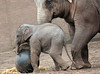 asiatic elephant Sanuk Artis JN6A3599 (j.a.kok) Tags: sanuk olifant elephant asiaticelephant aziatischeolifant elephasmaximus azie asia mammal zoogdier herbivor artis