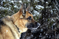 Ears on the horizon (Captions by Nica... (Fieger Photography)) Tags: german dog canine animal pet snow snowstorm winter december depth depthoffield dof flakes cold shepherd king outdoor quebec canada