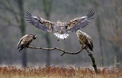 White-tailed Eagle (fr@nspelsmaekers) Tags: haliaeetusalbicilla seeadler whitetailedeagle zeearend pygargueàqueueblanche greatphotographers greaterphotographers greatestphotographers