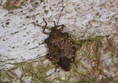 Bronze Shieldbug - Troilus luridus (Prank F) Tags: woodwaltonfen greatfen wildlifetrust huntingdonuk wildlife nature insect macro closeup bug shieldbug bronze troilusluridus