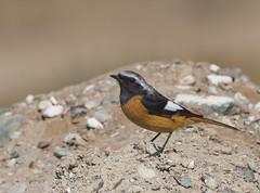 Daurian Redstart (Batmunkh89) Tags: redstart daurian birdsofmongolia migration