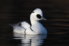 Smew (Simon Stobart (Away for a Week)) Tags: smew male swimming water
