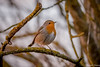 Sur un arbre perché (musette thierry) Tags: oiseau rougegorge nature orange bird falowme capture musette thierry nikon reflex