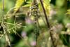 Golden Ringed Dragonfly (Linda Martin Photography) Tags: female dorset wildlife dragonfly nature goldenringeddragonfly cordulegasterboltonii insect canon5dmarklll uk longhamlakes coth ngc coth5 naturethroughthelens
