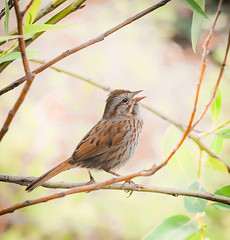 Sing a Song. (Omygodtom) Tags: nikkor outdoors wild wildlife bird sparrow songsparrow singing portrait nature natural nikon abstract animalplanet animal d7100 bokeh nikon70300mmvrlens