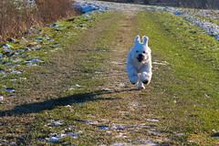 Winterlicher Spaziergang mit Lucy (kathinka68) Tags: hund feldweg feld wiese