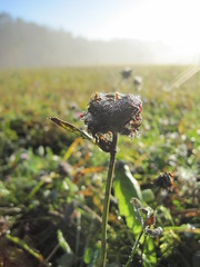 Morgentau (björnrudzewitz) Tags: wiese outdoor blume morgen tau morgentau