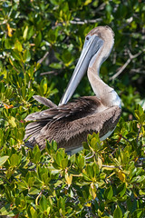 Brown Pelican (Lyall Bouchard) Tags: florida evergladesnationalpark bird brownpelican usa