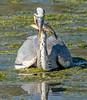 DSC0890 Grey Heron.. (jefflack Wildlife&Nature) Tags: greyheron heron herons birds avian animal wildlife wildbirds wetlands waterbirds waders waterways lakes riverbirds estuaries countryside nature coth5