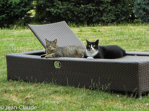 Domestic Cats ♂♂ Shorthair