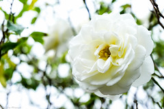 White Rose (nickperry1984) Tags: konica 50mm f18 rose white flower bloom blossom sony a6000