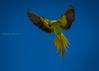 Parakeet (Sreelesh Sreedhar) Tags: parakeet animal bird birdphotography flying creature tele nikon nikonflickraward ngc nikond7100 nikon200500 outdoor oman pet