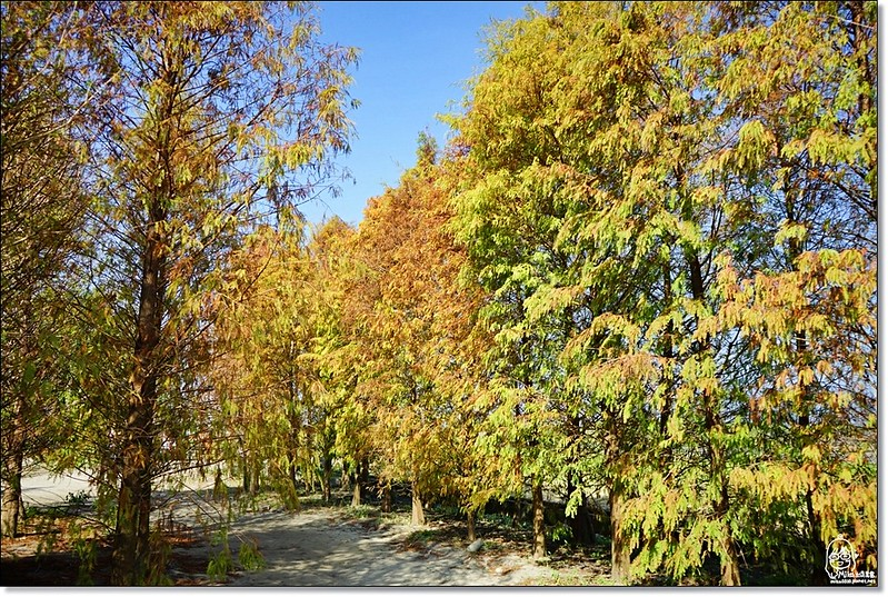 32114727951 8b8bbf0471 c - 『台中。后里』 泰安落羽松林秘境-泰安國小旁/泰安櫻花派出所/冬日限定的那一季松紅。