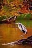 Artistic GB Heron 6-0 F LR 10-22-16 J186 (sunspotimages) Tags: artwork artistic bird birds nature impressionism impressionist digitalmanipulation heron greatblueheron