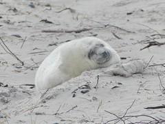 Baby Seal (BrigitteE1) Tags: babyseal heligoland baby seal robbe babyrobbe helgoland deutschland germany januar january weis pelzkugel strand beach walking wow world pretty natural white specanimal