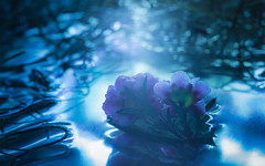 Never Let Go (Charles Opper) Tags: canon newzealandtearose spanishmoss blue color cool dark dreamy flowers haiku light macro mood moonlight mysterious nature poetry reflection surreal water