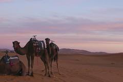 (Karsten Fatur) Tags: landscape desert morocco africa camel camels animals caravan sand sunset nature clouds sky sahara colours travel adventure explore mountains