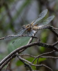 A Quick Rest (Timo Halonen) Tags: dragonfly sudenkorento insect hyönteinen ruskohukankorento fourspottedchaser nikon dx fx d5200 nikkor 70300mm libellula quadrimaculata lightroom6