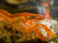 Cambarellus patzcuarensis var. Orange (florian.sonnleitner) Tags: cpo aquarium orange krebs flusskrebs makro