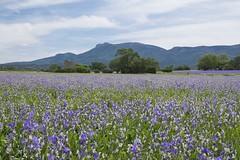 Plein les yeux **--- ° (Titole) Tags: irispallida iris perfumery titole provence nicolefaton thechallengefactory fields