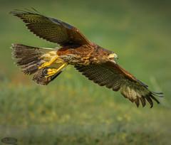 Aguila de harris 2 (PictureJem) Tags: aguiladeharris aves