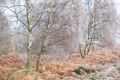 Undecided (Tom_Drysdale) Tags: wood freezing november winter mist frost autumn fog 2016 birnam murthly ice