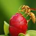 Avispa, Wasp.