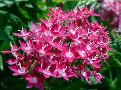 Pink Flowers (roizroiz) Tags: pink red beautiful leaf petals interestingness quintaflower lovely mothernature i500 flowersflowerpetalpetalsnaturebeautifulloveprettyplantsblossomsoprettyspringsummerflowersofflowerstylesgfflowersloversflowerpornbotanicalfloralfloralsflickrpickblossomflowermagicflickrbloomsbloombloomsbotanicaloftheday plantsportrait