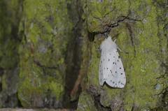 Witte tijger (Spilosoma lubricipeda) (Frank Berbers) Tags: butterfly insect moth schmetterling mot vlinder nachtfalter nachtvlinder wittetijger middenlimburg whiteermine brenspinner beervlinder reigersbroek breitflgeligefleckleibbr