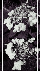 152 - #365 #pictureaday (noisy__nisroc) Tags: flower blackwhite mobil 365 pictureaday