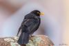 Merle noir (Turdus merula) (yann.dimauro) Tags: france fr merle oiseau rhone rhônealpes givors merlenoir