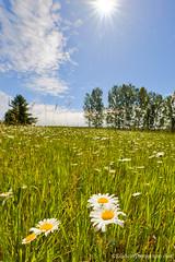 Blue Sky ... daisy  time (Ken Scott) Tags: usa june daisies spring michigan bluesky sunburst wildflower hdr leelanau 2015 45thparallel kenscottphotography kenscottphotographycom