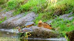 Tri-colored Heron, Cooter, and Mallard. (Jim Mullhaupt) Tags: wallpaper lake bird heron nature water landscape duck pond nikon flickr florida outdoor turtle background wildlife p900 swamp coolpix mallard bradenton tricoloredheron wader floridacooter mullhaupt nikoncoolpixp900 coolpixp900 nikonp900 jimmullhaupt