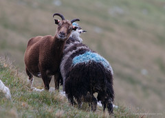 Shetland sheep on Foula (Kees Waterlander) Tags: scotland unitedkingdom gb shetland schapen foula shetlandsheep zoogdieren