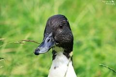Mama Ente (Anja van Zijl) Tags: park bird nature animal duck natur natuur ducks ente eend tier vogel stadtpark wasservogel watervogel entenvogel