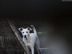 Mila emoldurada!!! (Marina Dutra Miranda) Tags: co animal cachorro mamfero
