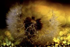 So make a Wish! HMM! (ursulamller900) Tags: redux2016myfavoritethemeoftheyear bubbles macro macromondays makroringe bokeh dandelion golden tessar2850