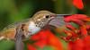 Rufous Hummingbird (photosauraus rex) Tags: hummingbird bird outdoor animal rufoushummingbird vancouver bc canada selasphorusrufus