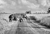 Hippo On The Move (Michel Rademaker) Tags: 2015 africa afrika safari stlucia zuidafrika holiday isimangaliso vakantie wetlands hippo mammal south bw bland blackwhite kzn kwazulunatal natal sony a77ii tamron 150600mm