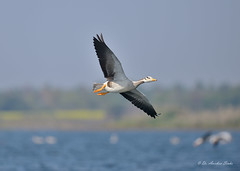 Sweet Turn... (Anirban Sinha 80) Tags: nikon d610 500mm ed vrii n bird flight bokeh goose barheaded