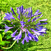 Purple Agapanthus (elphweb) Tags: fhdr falsehdr australia nsw flower infloresence agapanthus