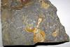 Fossiliferous chert (Upper Mercer Flint, Middle Pennsylvanian; Nellie West Outcrop, Coshocton County, Ohio, USA) 8 (James St. John) Tags: flint chert ohio pennsylvanian upper mercer nellie pottsville group fossil fossils fossiliferous