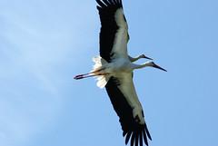 Storch-Doppeldecker - storks biplane (okrakaro) Tags: storch doppeldecker storks biplane birds animal nature blue sky zwei vögel natur blauer himmel mai 2013 germany