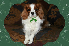 Season's Greetings from our family to yours... (Doris Burfind) Tags: christmas dog cavalierkingcharlesspaniel portrait pet animal
