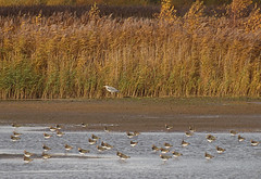 2016_11_0400 (petermit2) Tags: lapwing pottericcarr potteric doncaster southyorkshire yorkshirewildlifetrust wildlifetrust ywt greyheron heron