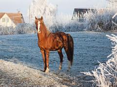 Es Sakr (Melek *) Tags: cheval horse étalon arabe psar asil ak eligible
